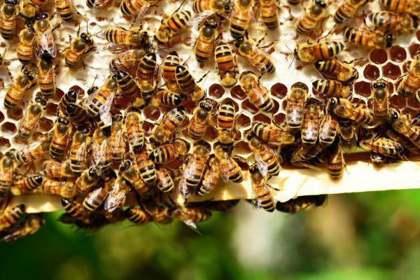 欧盟禁止在户外使用危害蜜蜂的杀虫剂