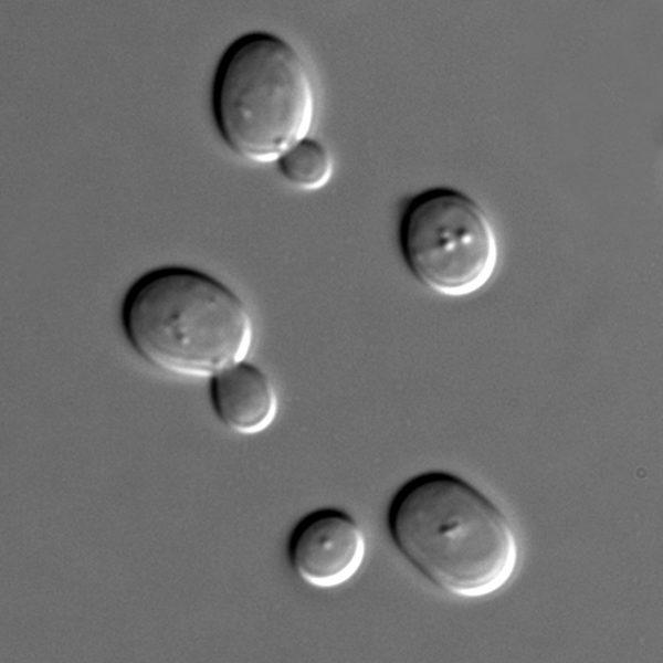 将基因拼到一起!酵母菌16条染色体变成1条
