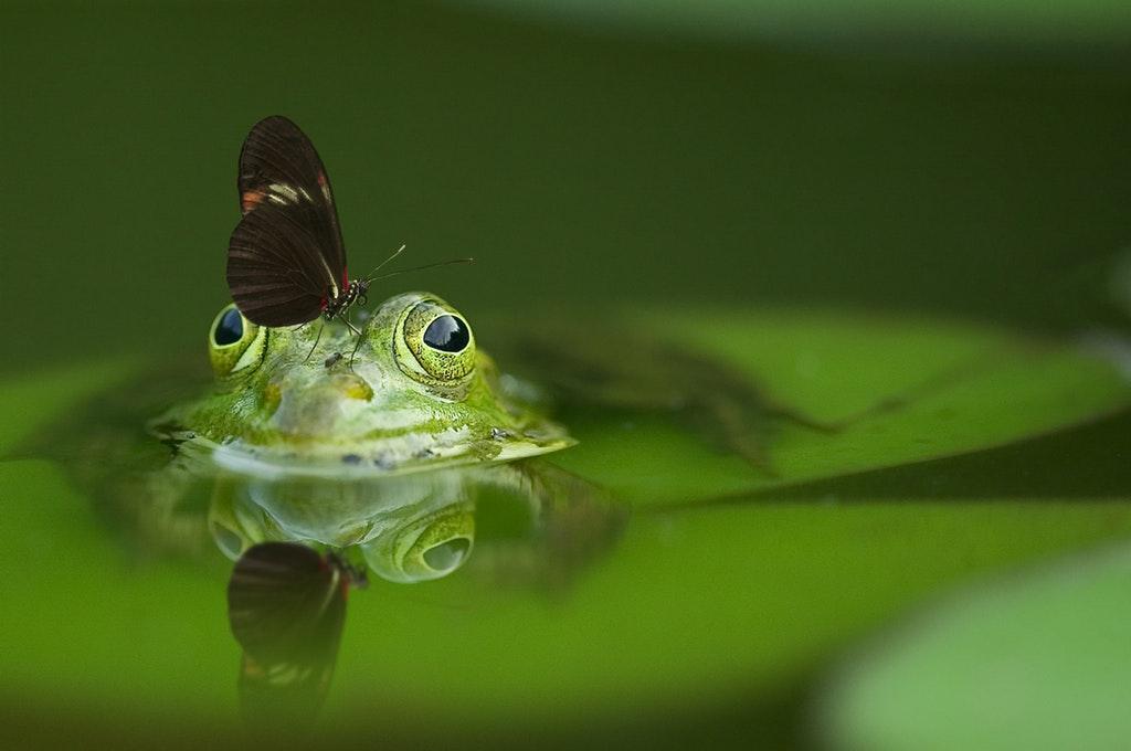 细菌可以帮助青蛙吸引配偶