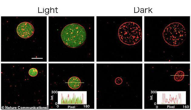 科学家在实验室合成了能独立进行光合作用的人造细胞