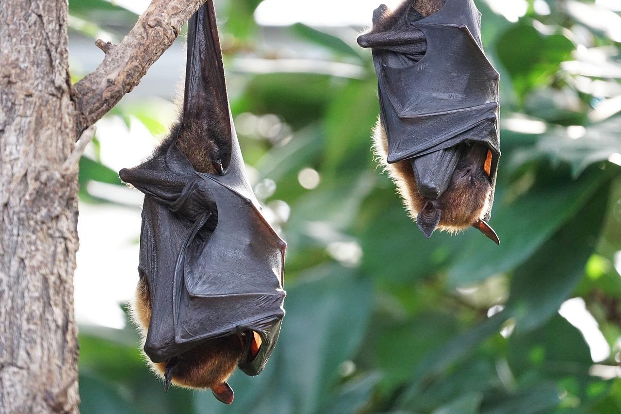 蝙蝠可能藏着长寿关键秘密:人类掌握了可活240年