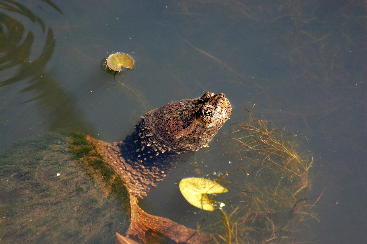 snapping-turtle-2078123_1280.jpg